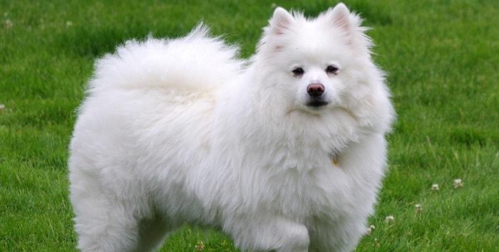 a cute foxy american eskimo dog